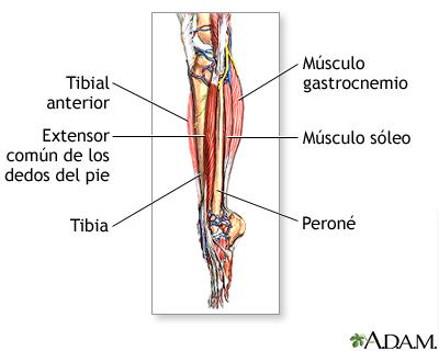 Músculos de la parte baja de la pierna