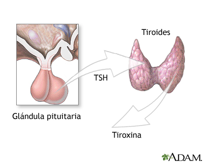 Pituitaria y TSH