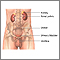Tracto urinario masculino