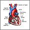 Corte transversal de la anatomía cardíaca normal