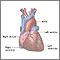 Anatomía normal del corazón