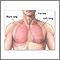 Anatomía del pulmón normal