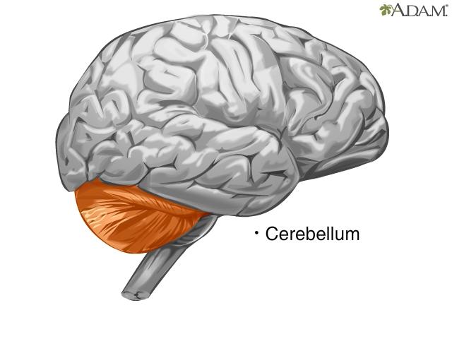 Componentes Del Cerebro Videos De Salud Medlineplus Enciclopedia Médica